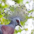 Victoria crowned pigeon goura victoria close up closeup on nature background Royalty Free Stock Photo