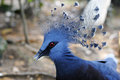 Victoria crowned pigeon goura victoria in malaysia Royalty Free Stock Photography