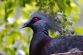 Victoria crowned pigeon goura victoria in malaysia Stock Images