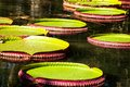 Victoria Regia, the world's largest leaves, of Amazonian water lilies Royalty Free Stock Image
