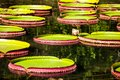 Victoria Regia, the world's largest leaves, of Amazonian water lilies Royalty Free Stock Photo