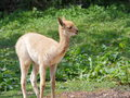 Vicugna llama baby side view little looking to right Royalty Free Stock Photography