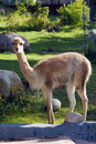 Vicuna Royalty Free Stock Images