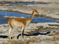 Vicuna typical south american wild cameloid Stock Images