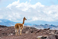 Vicuna vicugna vicugna or vicugna is wild south american camel camelid which live in the high alpine areas of the andes it a Stock Images