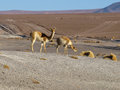 Vicunas two in southern altiplano bolivia Stock Photo