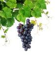 Vid con el racimo de la uva de vino Foto de archivo