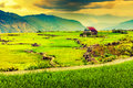 Vietnam Rice Paddy Field Royalty Free Stock Photo