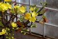 Vietnam Spring Flower, Clay Ap...