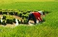 Vietnamese farmer work on rice field