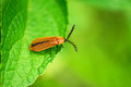 Vietnamese firefly big from north vietnam Royalty Free Stock Photos