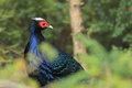 Vietnamese pheasant Stock Photos