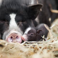 Vietnamese pigs Royalty Free Stock Photo