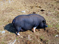 Vietnamese potbelly pig in the area devoid of grass Royalty Free Stock Image