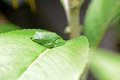 Vietnamese tree frog from mountain tropical forest Royalty Free Stock Photos