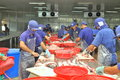 Vietnamese workers are filleting pangasius fish in a seafood processing plant in the mekong delta Royalty Free Stock Photo