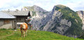 View on an alp with a cow in the foreground in the alps Royalty Free Stock Photo