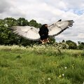 A view of a Baleteur Eagle in flight Royalty Free Stock Photo