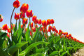 View from below of beautiful orange tulips Royalty Free Stock Photo