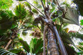 A view from below upwards on the  Coco de Mer palm trees. The Vallee De Mai palm forest, Praslin island, Seychelles Royalty Free Stock Photo