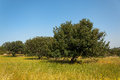 View of an carob tree orchard in a field Cyprus Royalty Free Stock Photo