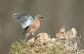 View of a chaffinch landing on a stump Royalty Free Stock Images