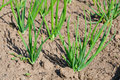 View of chive on the field.plantation onions Royalty Free Stock Images