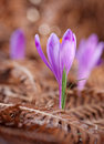View of close-up magic blooming spring flowers crocus growing from fern Royalty Free Stock Photo