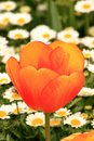 View of close up orange tulip and daisies in the back at Istanbul Tulips Festival Royalty Free Stock Photo