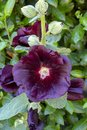 Deep Purple Hollyhocks