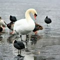 A view of Ducks, Geese and Swans on Brown Moss in the winter Royalty Free Stock Photo