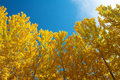View of Fall Aspen Trees Stock Photos