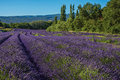 View of field of lavender flowers under sunny sky, near the village of Roussillon. Royalty Free Stock Photo