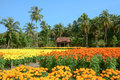 View of the flower fields in southern Vietnam Royalty Free Stock Photo