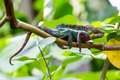 View of a green chameleon in a zoo Royalty Free Stock Photo