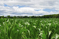 A view from indide a cornfield on a summer day in rural central new jersey Royalty Free Stock Photography