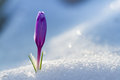 View of magic blooming spring flowers crocus growing from snow Royalty Free Stock Photo