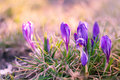 View of magic spring flowers crocus growing in wildlife. Purple Royalty Free Stock Photo