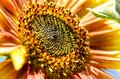 View of orange sunflower up close in a colorful garden Royalty Free Stock Photo