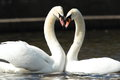View of a pair of mute swans during courtship displaying Stock Images