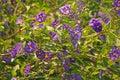 POTATO BUSH SHRUB COVERED IN FLOWERS Royalty Free Stock Photo