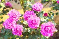 Rose `Angel Face` Royalty Free Stock Photo