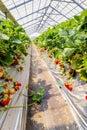 View Strawberry hanging farm full of ripe strawberries,Chiba, Royalty Free Stock Photo
