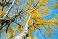 View up to autumn birch trees with yellow leaves