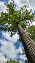 View upward of the green leaves and trunk of tall tree with sky background Royalty Free Stock Photo