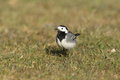 View of a wagtail foraging in grass Stock Photo