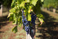 View at wineyard of the grapes in a Stock Photo