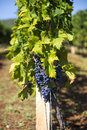 View at wineyard of the grapes in the Stock Photography