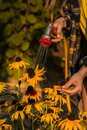 View woman hands watering plants from the hose, makes a rain in the garden. Gardener with watering hose and sprayer water on the Royalty Free Stock Photo