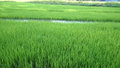 View of young rice sprout ready to growing in the rice field thailand Royalty Free Stock Images